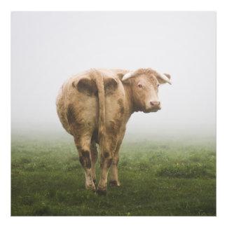 Vaca blanca Bull que mira detrás en un campo de Fotografía