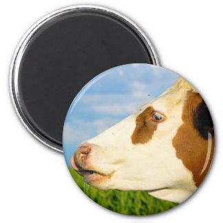 Vaca blanca de Brown que mira todo derecho. Imanes Para Frigoríficos