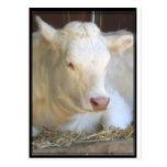 Vaca blanca tarjetas postales