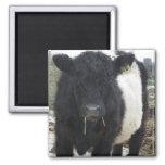Vaca ceñida de Galloway que come el heno Imanes Para Frigoríficos