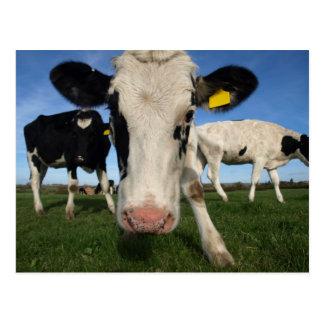 Vaca curiosa postal