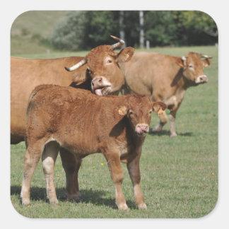Vaca de Brown que lava su becerro Pegatina Cuadrada