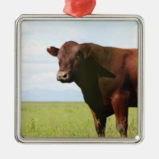 Vaca de ganado en campo adorno cuadrado plateado