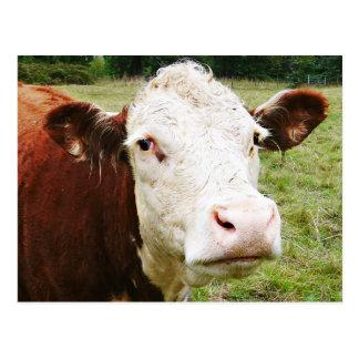 Vaca de ganado hecha frente blanca tarjeta postal