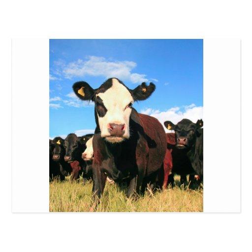 Vaca de Holstein Tarjetas Postales