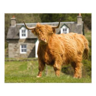Vaca de la montaña (Coo de Heeland) Fotografía