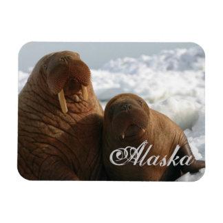Vaca de la morsa de Alaska con el imán flexible de