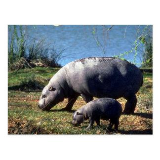Vaca de los hipopótamos del Pigmy con el pequeño Postales