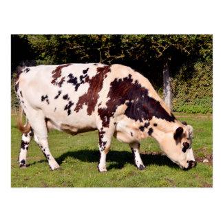 Vaca de Normandía que pasta Tarjeta Postal