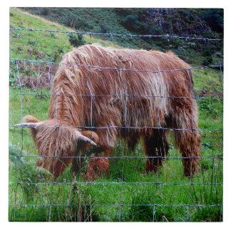 Vaca de pelo largo de la montaña escocesa azulejos
