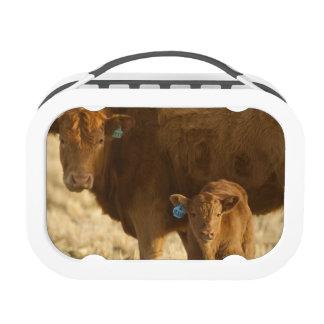 Vaca del mestizo con el becerro cerca de Choteau,