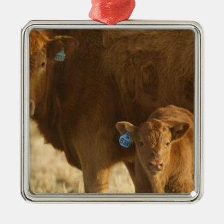 Vaca del mestizo con el becerro cerca de Choteau, Adorno Navideño Cuadrado De Metal
