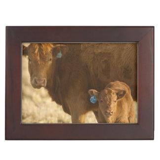 Vaca del mestizo con el becerro cerca de Choteau, Cajas De Recuerdos