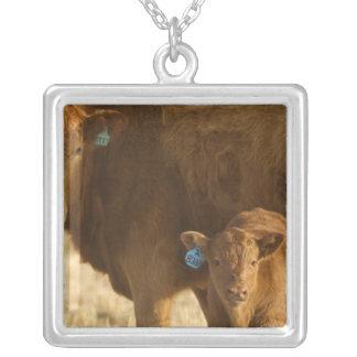 Vaca del mestizo con el becerro cerca de Choteau, Colgante Cuadrado