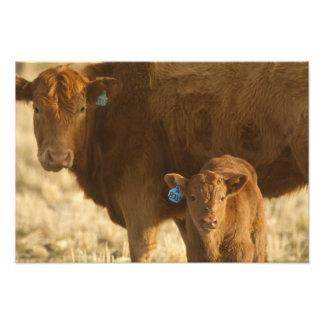 Vaca del mestizo con el becerro cerca de Choteau,  Fotografía