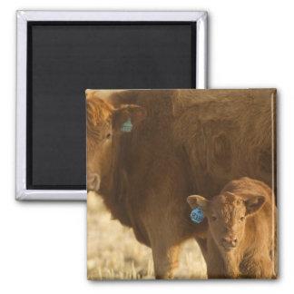 Vaca del mestizo con el becerro cerca de Choteau,  Imán Cuadrado
