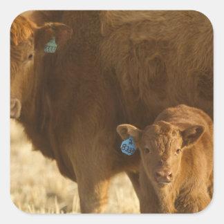 Vaca del mestizo con el becerro cerca de Choteau,  Calcomanias Cuadradas