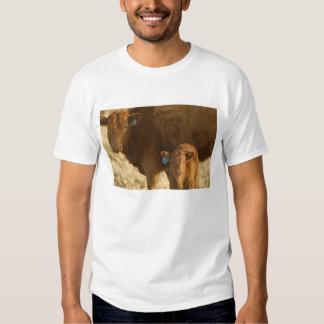 Vaca del mestizo con el becerro cerca de Choteau, Polera