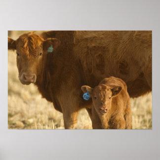 Vaca del mestizo con el becerro cerca de Choteau,  Póster