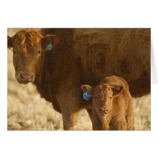 Vaca del mestizo con el becerro cerca de Choteau,  Tarjeta De Felicitación