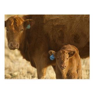 Vaca del mestizo con el becerro cerca de Choteau, Tarjetas Postales