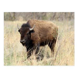 Vaca en colinas del pedernal, Kansas del bisonte Tarjeta Postal