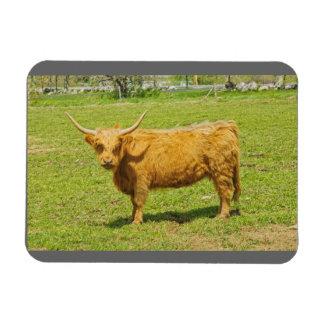 Vaca escocesa de la montaña en campo de granja imán de vinilo