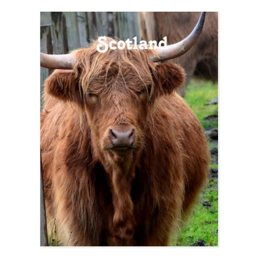 Vaca escocesa de la montaña tarjetas postales