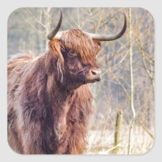 Vaca escocesa del montañés de Brown que se coloca Pegatina Cuadrada