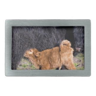Vaca escocesa negra de la madre del montañés con hebillas de cinturón rectangulares