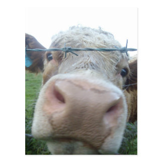 Vaca escocesa postal
