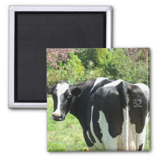 Vaca holandesa número 52 que mira detrás de su imán cuadrado