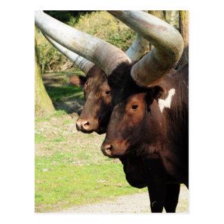 Vaca larga 5 del cuerno tarjeta postal