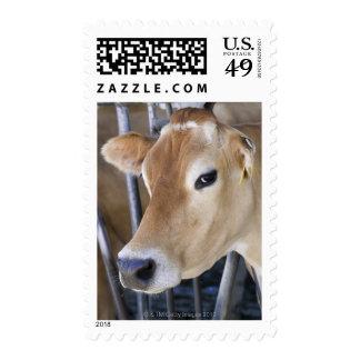 Vaca lechera del jersey con la cabeza en la franqueo