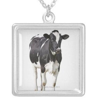 Vaca lechera (tauro del Bos) en el fondo blanco Collar Plateado
