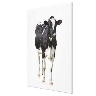 Vaca lechera (tauro del Bos) en el fondo blanco Impresión En Lienzo Estirada