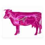 Vaca linda anatómica tarjeta postal