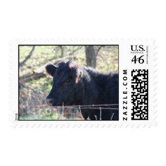 Vaca negra que mira fuera de la cerca