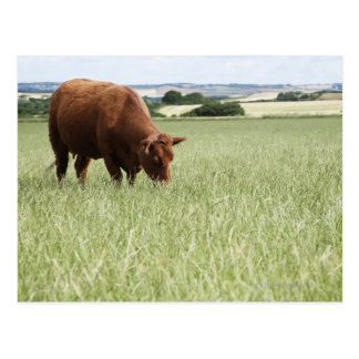 Vaca que pasta en prado postal