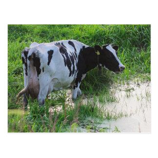 Vaca rezagada tarjeta postal