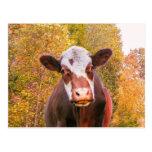 Vaca roja curiosa postal