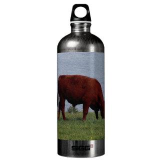Vaca roja de rubíes del sur Grazeing de Devon en