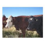 Vaca roja del negro de la vaca tarjeta postal
