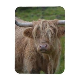 Vaca rubia lanuda de la montaña imán rectangular