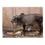 Vaca sagrada en la India que alimenta en la postal