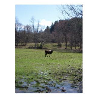 Vaca sola postal