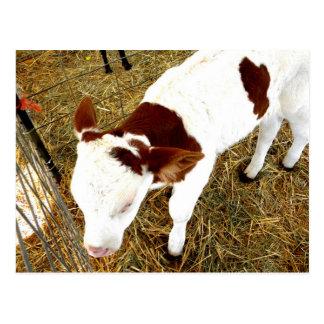 Vaca Tarjeta Postal