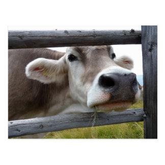 Vaca tirolesa que empuja la cabeza a través de la  postales