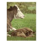 vaca y becerro en campo postal