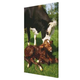 Vaca y becerro recién nacido lienzo envuelto para galerias
